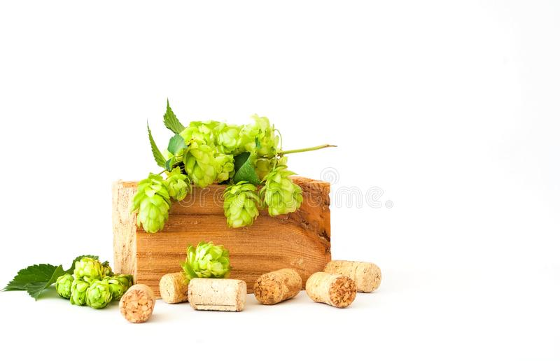 Beer brewing ingredients. Green fresh hop isolated on white background royalty free stock photography