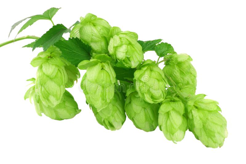 Beer brewing ingredients Hop cones isolated on white background. Beer brewery concept. Beer background royalty free stock images