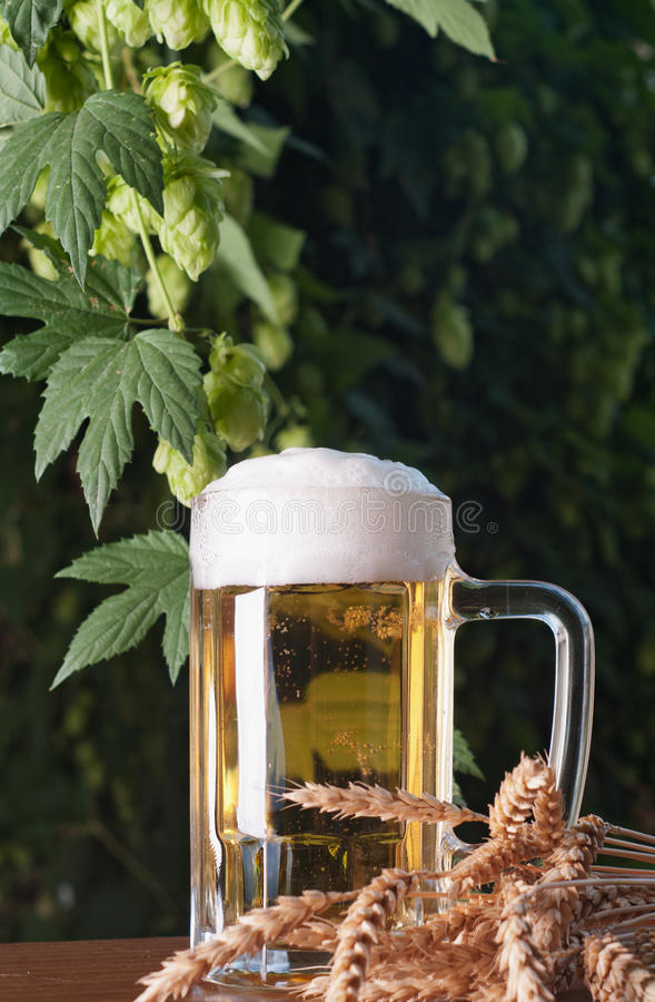 Beer and hop royalty free stock image