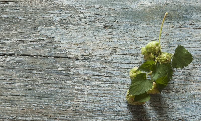 Beer production ingredient. Brewery. Hop twig over old wooden table background. Vintage style stock photos