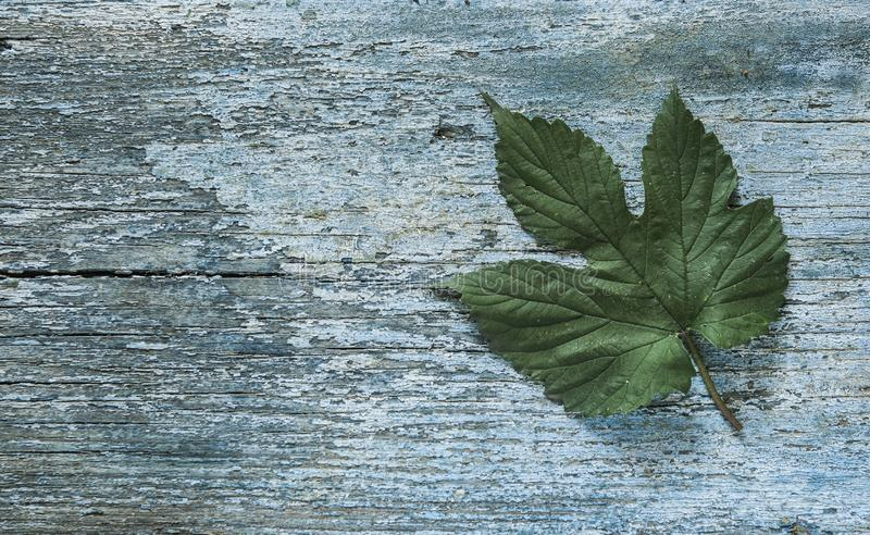 Beer production ingredient. Brewery. Hop twig over old wooden table background. Vintage style stock photography