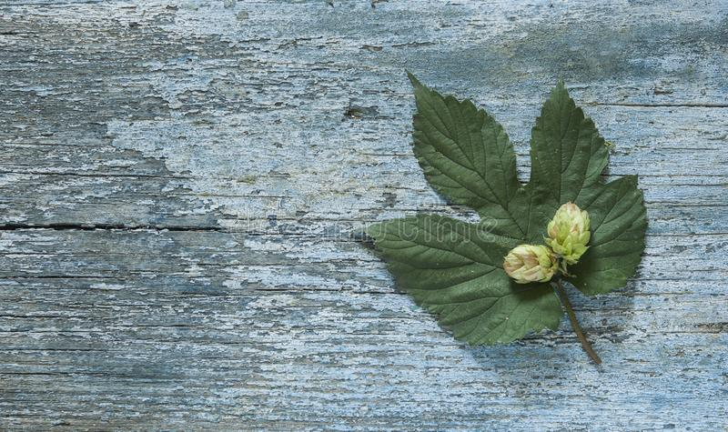 Beer production ingredient. Brewery. Hop twig over old wooden table background. Vintage style royalty free stock photo