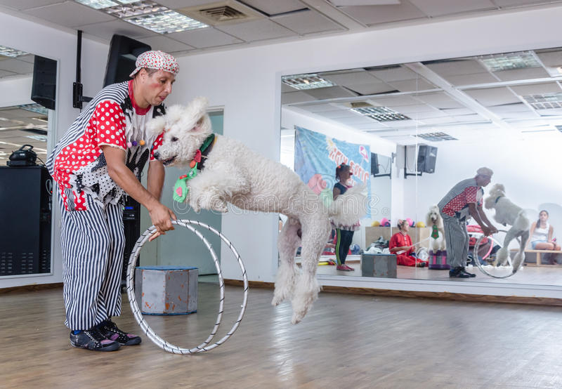 Beer-Sheva, ISRAEL -Clown and white poodle to jump through hoops, July 25, 2015 royalty free stock photography