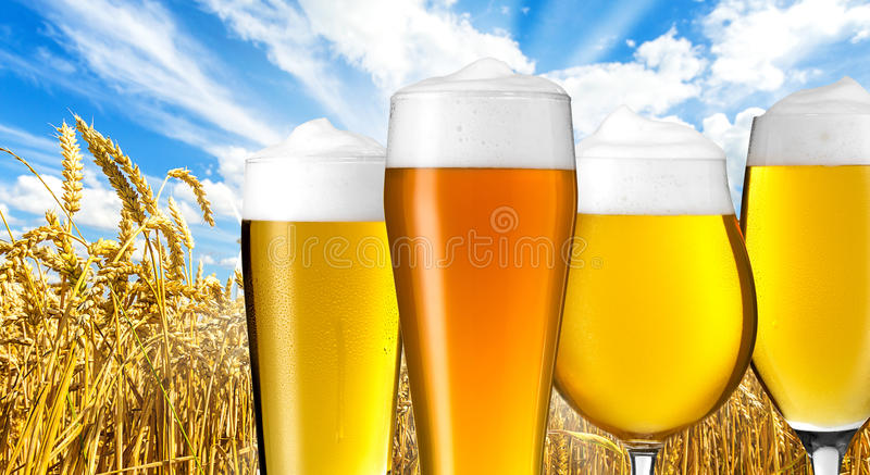 Beer varieties in summer. A group of beer glasses with dew drops on a wheat field. Taken in Studio with a 5D mark III royalty free stock image