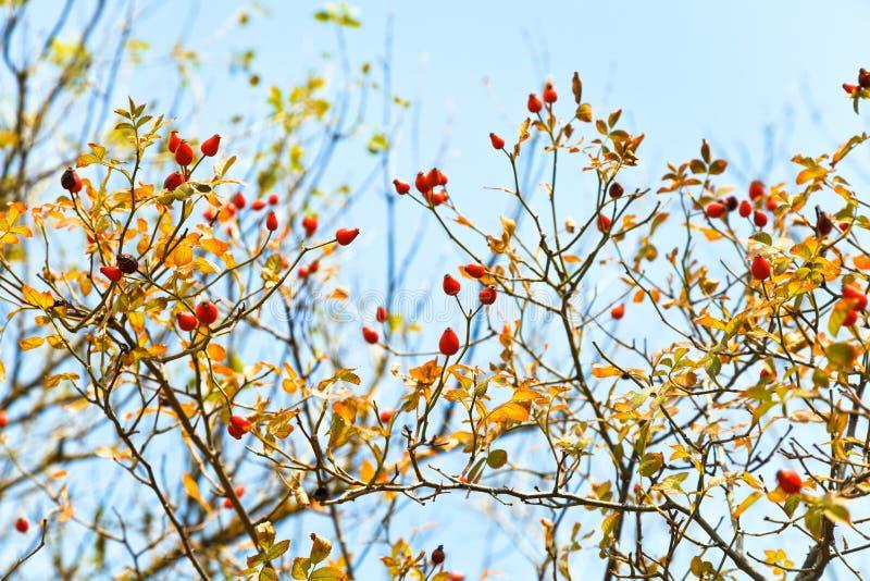 Beere von Brier und blauer Himmel im Herbst lizenzfreie stockfotografie