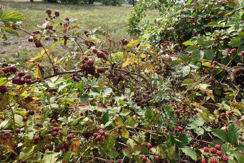 Beeren dans Wese AM Otternhagener amarrent images stock