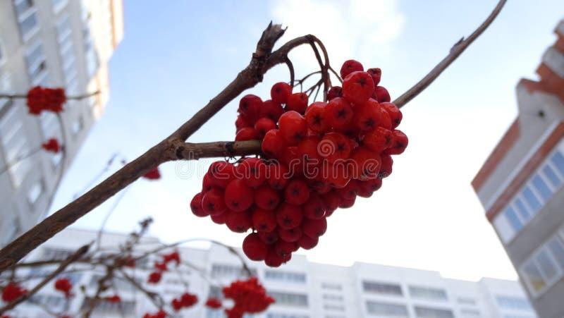 Beeren der Eberesche im Winter stockfotos