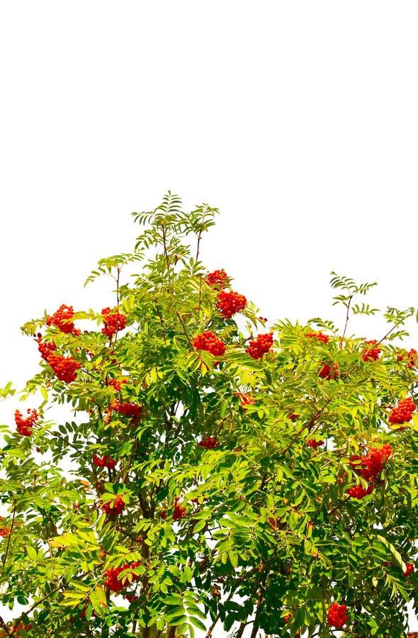 Beeren und Blätter einer Eberesche auf einem Weiß. lizenzfreie stockfotos