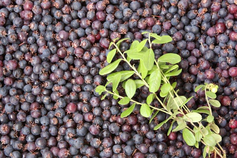 Beeren und Zweige der Blaubeere lizenzfreie stockfotos