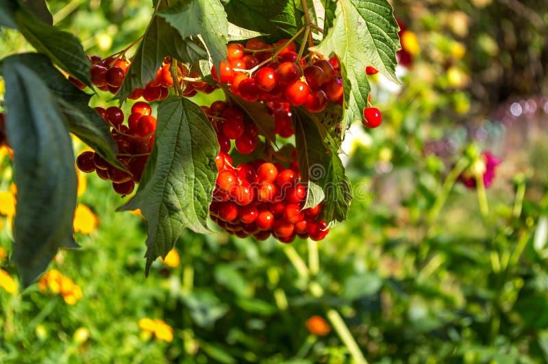 Beeren Viburnumabschluß oben, rot Medizinische Eigenschaften lizenzfreie stockbilder