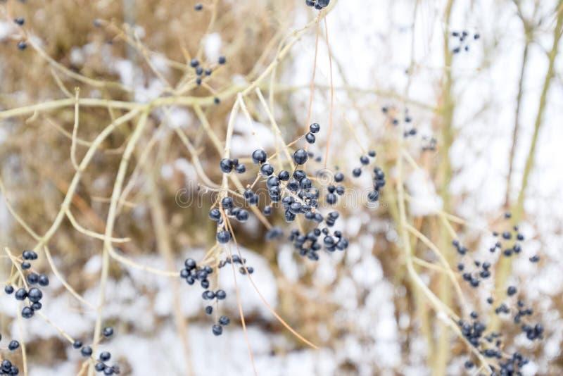 Beeren von Chokeberry aronia auf Niederlassungen im Winter stockfoto
