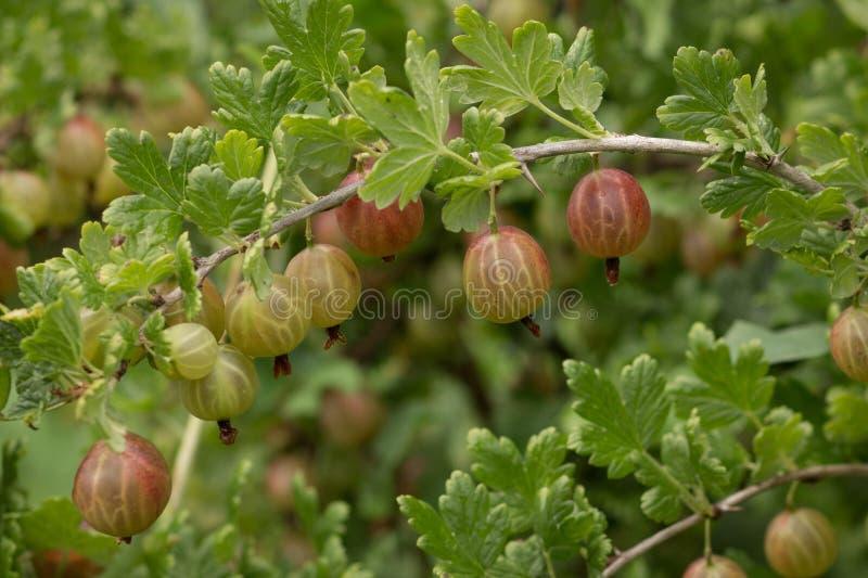 Beeren von roten Stachelbeeren auf einer Niederlassung lizenzfreie stockbilder