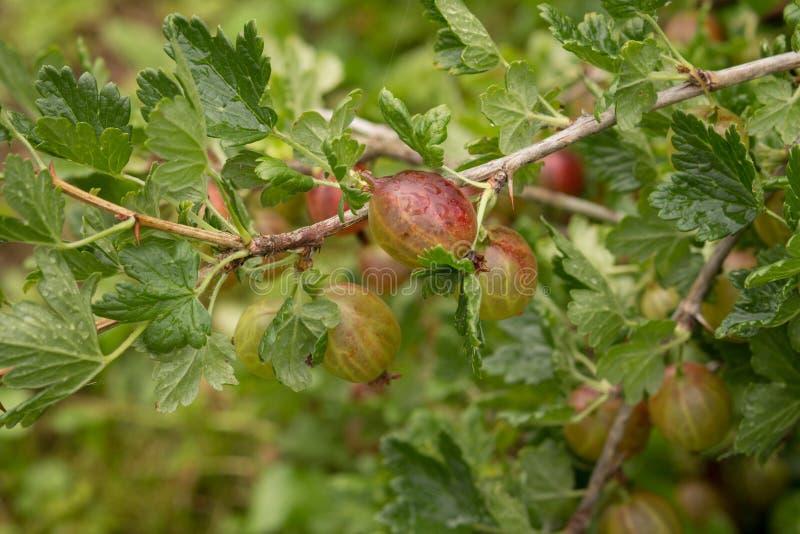 Beeren von roten Stachelbeeren auf einer Niederlassung lizenzfreies stockfoto