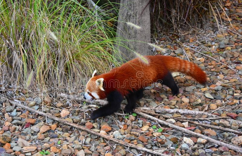 The red panda Ailurus fulgens royalty free stock image