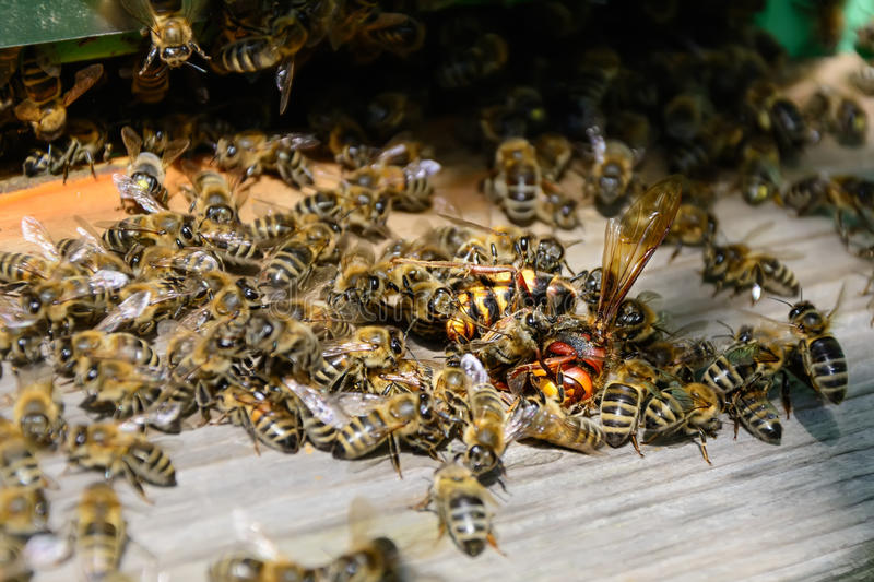 Bees attacked by hornets at the hive. Bee killer hornet . Apiculture. stock photography