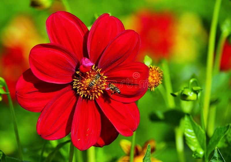 Bees in a beautiful dahlia flower stock image