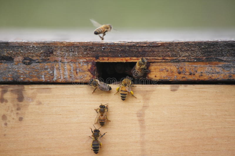 Bees In A Bee Box Stock Photo
