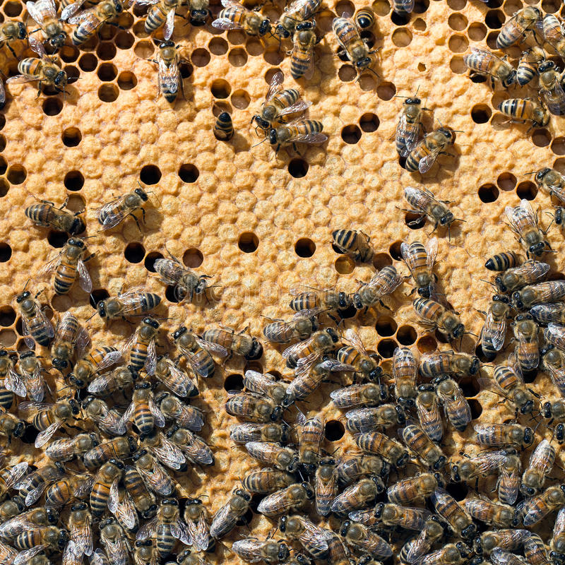 Bees in bee hive closeup. Busy bees! Sealed cells are for young brood stock image