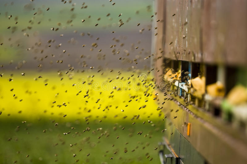 Bees at beehive entrance are flying in and out stock photo