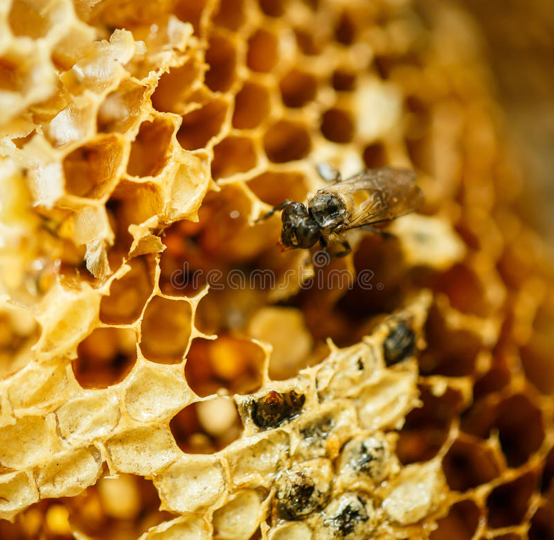 Bees in a beehive on honeycomb. Bees in beehive on honeycomb royalty free stock photos