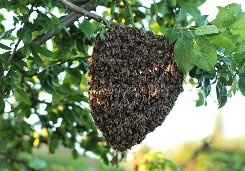 Bees. Big swarm bee on tree stock photography