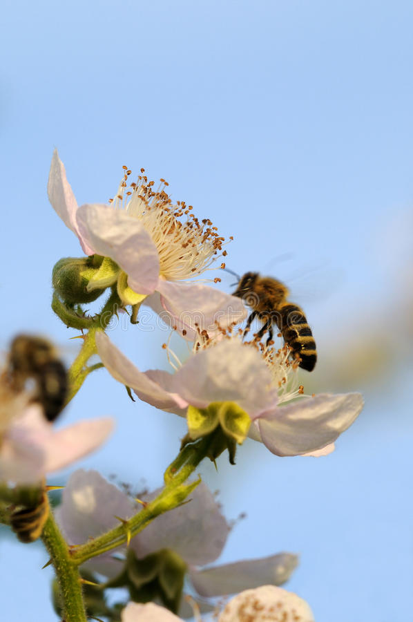 Bees and blackberry royalty free stock photography