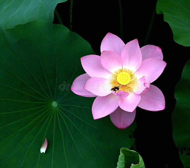 Bees and blooming lotus royalty free stock photos
