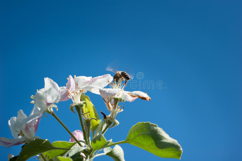 Download Bees in the  blossom stock photo. Image of pink, picking - 29108818