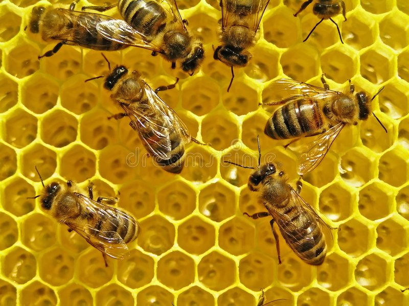 Download Bees build honeycombs. stock image. Image of immunity - 6442971