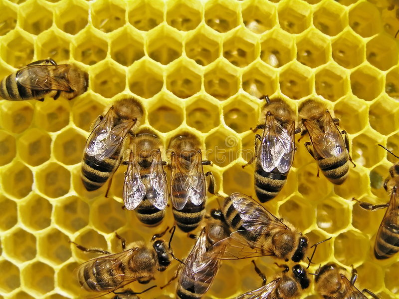 Download Bees Build Honeycombs. Royalty Free Stock Photos - Image: 6443288