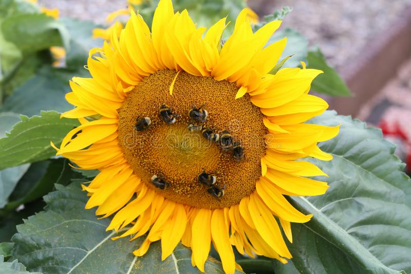 Bees and bumblebees on a sunflower.  stock photos