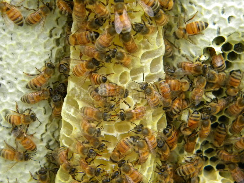 Bees on burr comb royalty free stock photos