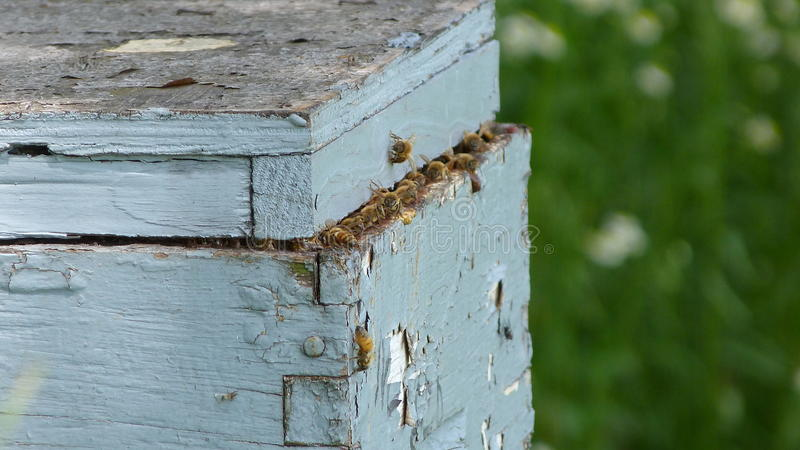 Bees A Buzzing. Bees come and go from their hive stock photos