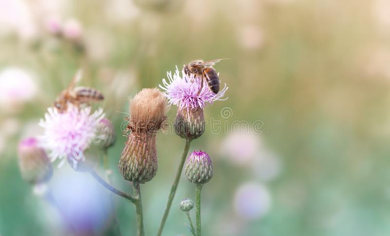 Bees collect nectar from flowers in a summer meadow. stock photos