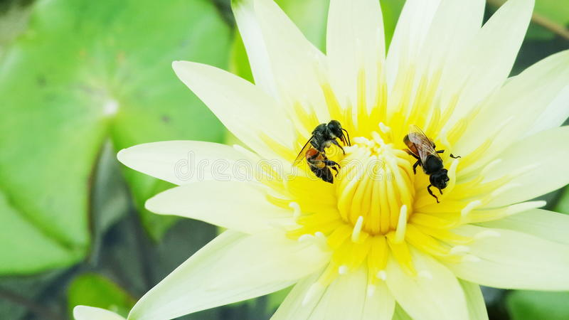 Bees collect nectar to make honey. Honey bees collect pollen and nectar from flowers royalty free stock image