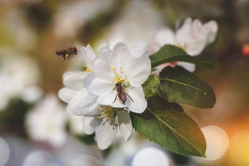 Bees collect pollen from apple tree royalty free stock image