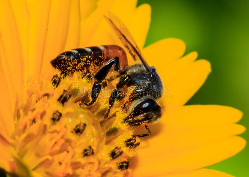Bees collecting nectar from flower. Bees collect nectar from flowers naturally close stock image