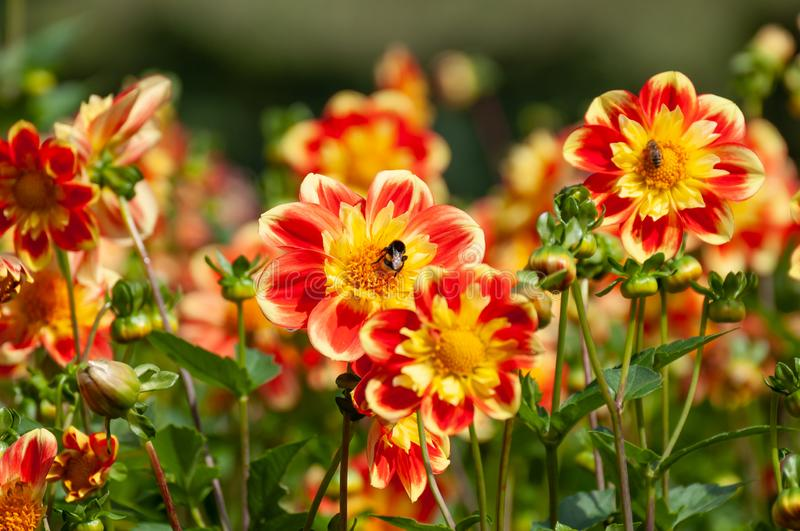 Bees collecting pollen on colorful summer flowers royalty free stock photos