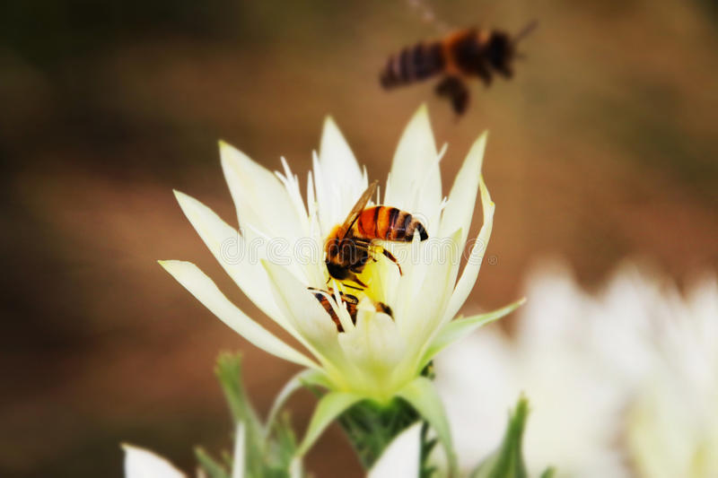 Bees collecting pollen. Bees are flying insects closely related to wasps and ants, and are known for their role in pollination and for producing honey and royalty free stock images