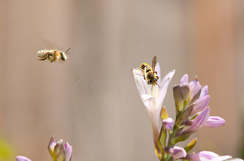 Bees Coming. One bee in a Hosta flower while another approaches royalty free stock images