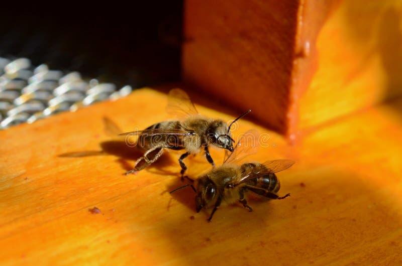 Bees comunication royalty free stock photos