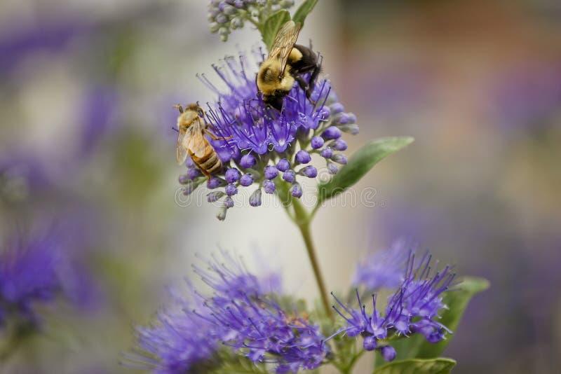 Bees on dark knight bluebeard stock photos