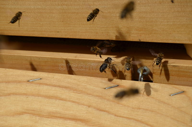 Bees at entrance of their hives, one looking into camera stock photos