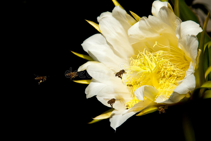 Bees and flower. On black background royalty free stock photo