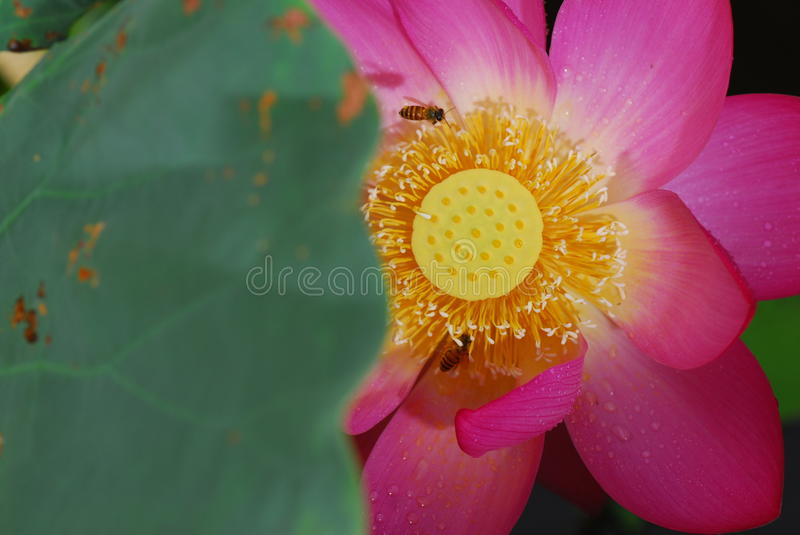 Download Bees in flower core stock photo. Image of pink, core - 20265198