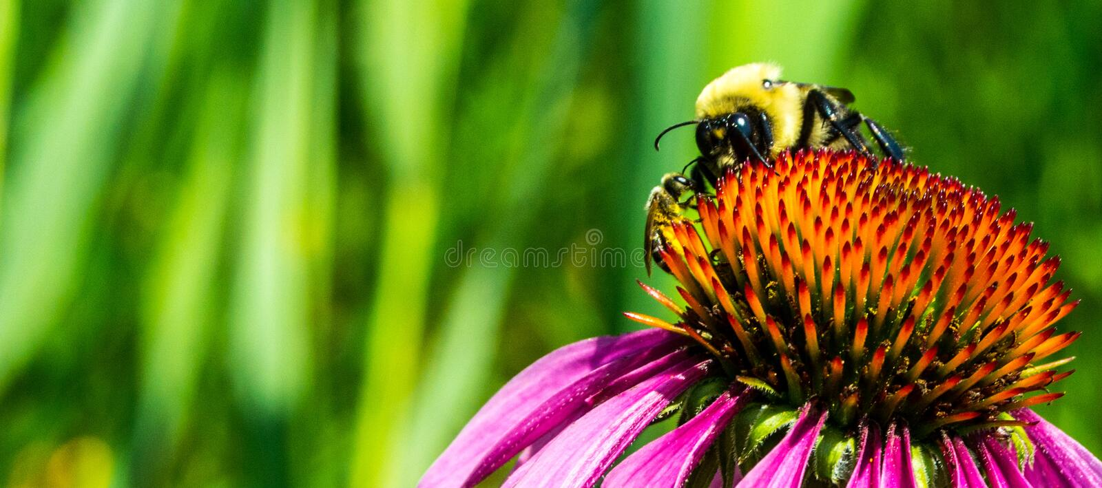 Bees on flower. Bees pollinating atop a multi colored flower against a green summer background stock photo