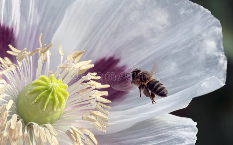 Bees. At flower at work stock images