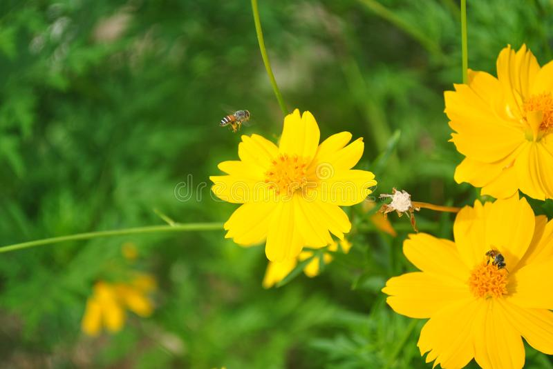 Bees fly to the cosmos flowers. stock photo