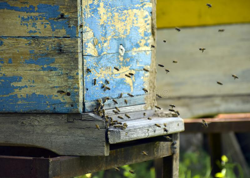Bees fly to the hive. Beekeeping. A swarm of bees brings honey home. Apiary stock photo