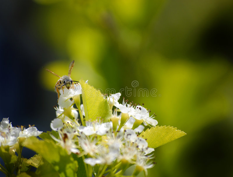 Download Bees Flying Around Flowers Royalty Free Stock Images - Image: 5580669